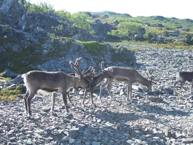 Renne (ou caribou)