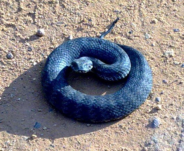 Elapidae (famille de serpents)
