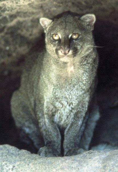Jaguarondi (ou eyra ou chat loutre)